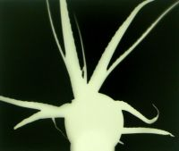 Fotogramm (Aloevera 2)